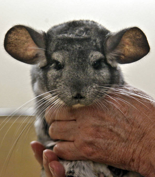 Director of veterinary services Jennifer D'Agostino examins Rocky, an 18-year-old chinchilla at the Oklahoma City Zoo on Thursday, March 15, 2012, in Oklahoma City, Oklahoma.  Photo by Chris Landsberger, The Oklahoman