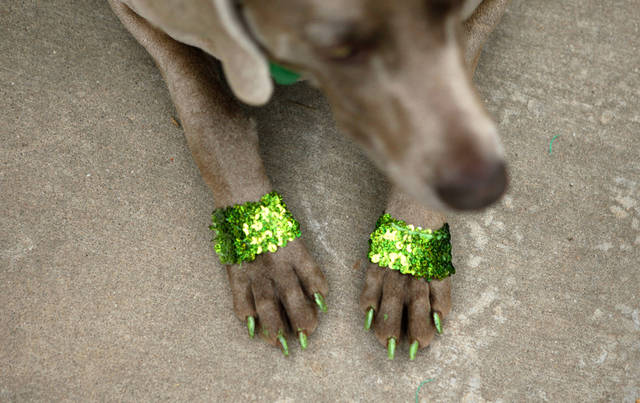 With painted nails a dog sits during the annual St. Patrick's Day Parade in downtown Oklahoma City, Saturday, March 17, 2012. Photo by Bryan Terry, The Oklahoman