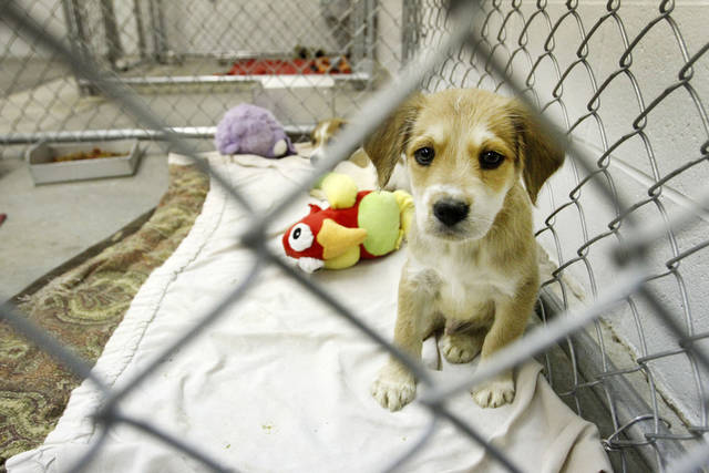 A puppy awaits adoption at the Oklahoma City animal shelter. Photo By Steve Gooch, The Oklahoman