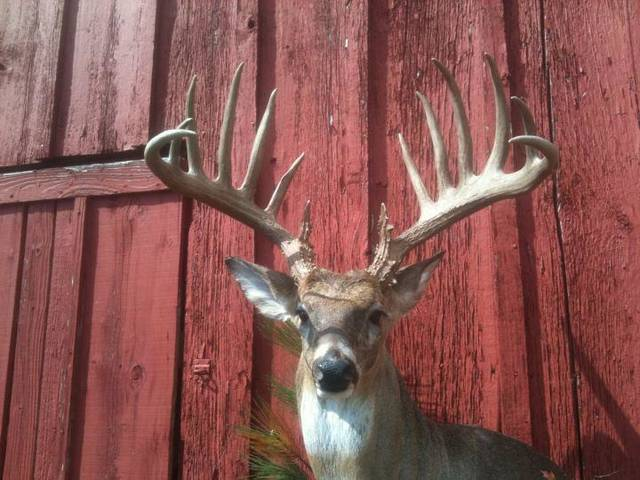 Wade Ward of Foyil killed this 14-point buck in Rogers County in January that could be the new state archery record. Photo provided