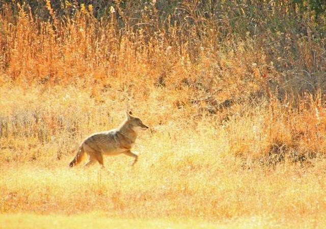 3 Legged Coyote near Holdenville, OK