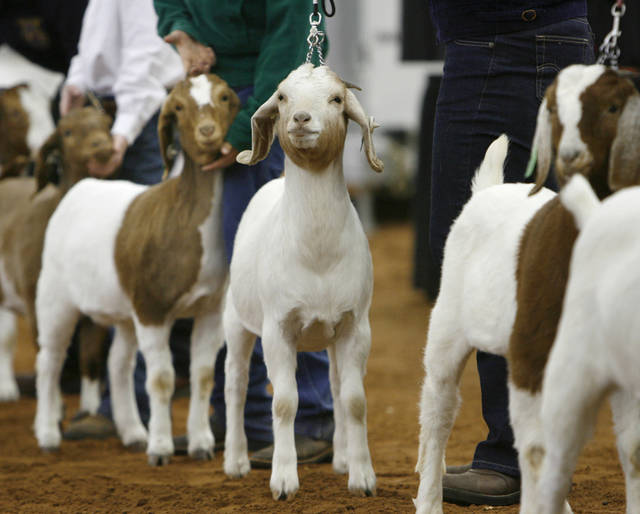Youth stand next to their animals during judging in the Class 2A doe goats division  at the 2008 Oklahoma Youth Expo, the world's largest  junior livestock show, on Wednesday, March 12, 2008, at State Fair Park.    BY JIM BECKEL, THE OKLAHOMAN