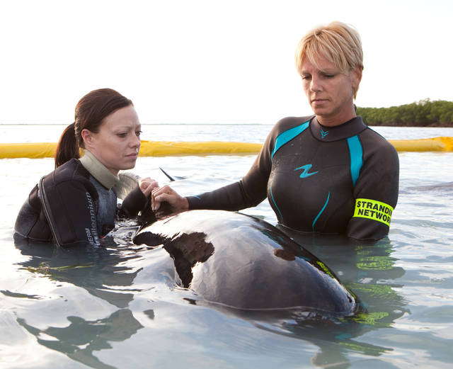 In this photo provided by the Florida Keys News Bureau, Stacey Anderson, right, of the Marine Mammal Conservancy, right, and an unidentified MMC volunteer, left, care for a pilot whale Friday, May 6, 2011, at Cudjoe Key, Fla. The whale is one of about 16 that stranded Thursday, May 5, off the lower Florida Keys. Six other whales are being cared for in the temporary sea pen, two died and responders are endeavoring to secure the others in the sea pen. (AP Photo/Florida Keys News Bureau, Bob Care)