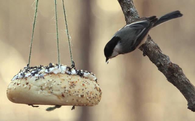 A chickadee eats from a hand made bird feeder created by visitors at Martin Park during a free class on Saturday, Dec. 17, 2011, in Oklahoma City, Okla.   Photo by Steve Sisney, The Oklahoman