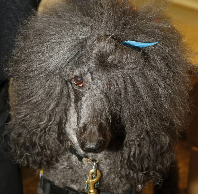 "Judy Savage's dog, Rossi, was present at Savage's book signing event in the main lobby outside the gift shop at  Mercy Hospital on Tuesday, Nov. 13, 2012.  Rossi is a  Black Standard Poodle that is the subject of the book ""Rossi the Approval Poodle."". Photo by Jim Beckel, The Oklahoman <strong>Jim Beckel - THE OKLAHOMAN</strong>"