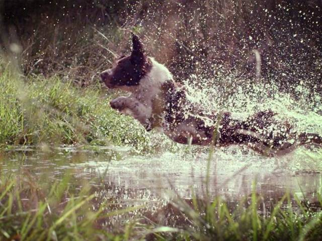 Jess the Springer Spaniel leaps into a pond. - Photograph by Oxford Scientific Films Ltd 2012 & Film