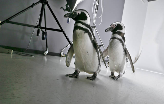 Magellanic Penguins Penny and Pete leave the studio on a visit to the OPUBCO office from SeaWorld on Thursday, Feb. 21, 2013, in Oklahoma City, Okla. Photo by Chris Landsberger, The Oklahoman