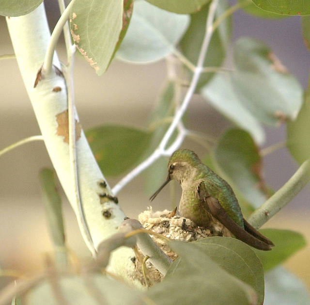 This Feb. 2003 photo shows a mother Anna's hummingbird caring for it's nest in Los Angeles. The smallest bird in the world weighs a tenth of an ounce, has a brain the size of a BB, wobbly legs and enemies like the praying mantis and bull frog. Even so, millions of humans will spend countless hours this spring and summer watching, feeding and worrying about the hummingbirds mating and nesting in their backyards. (AP Photo/Nick Ut)