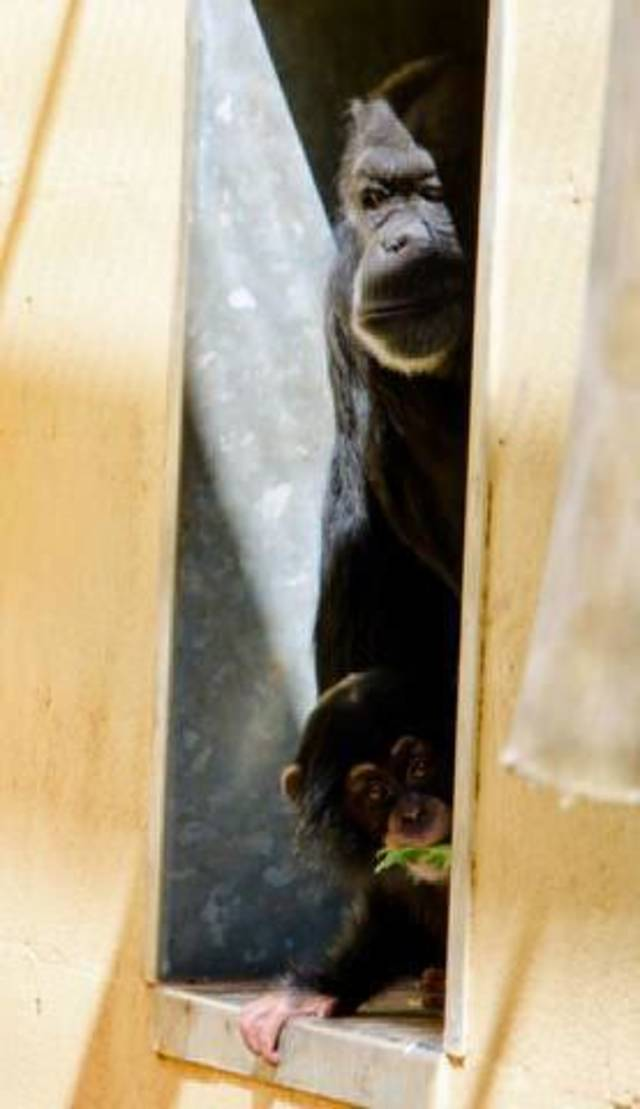 Ruben peeks out of a door in his enclosure at the Oklahoma City Zoo while his surrogate mother Kito looks on. <strong>Jennifer D?Agostino - Jennifer D?Agostino</strong>