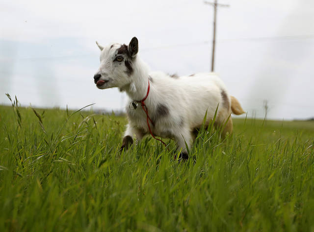 "Wrigley the goat walks in a field next to Wilshire Boulevard in Oklahoma CityThursday, April 19, 2012. The groups is walking with a a goat  to ""Crack the Curse"" of the Chicago Cubs and to raise money for Fred Hutchinson Cancer Research Center  by walking 19,000 miles. Photo by Sarah Phipps, The Oklahoman."