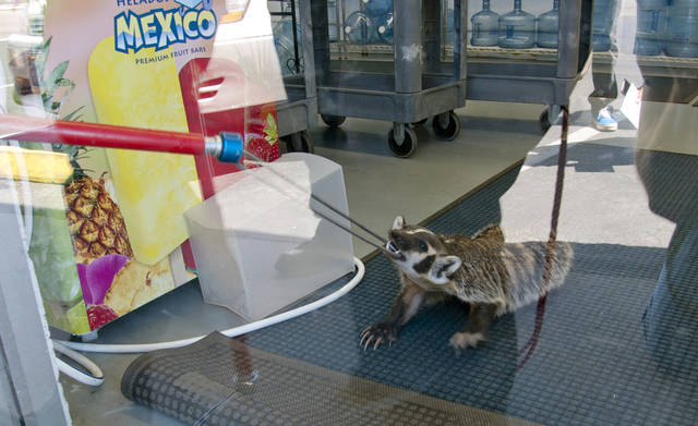 <p>In this Aug. 7, 2012 image provided by the Nevada Department of Wildlife, wildlife officials attempt to snare a badger who wandered through an open door into a bottled water store in Sparks, Nev. Officials with the Nevada Department of Wildlife and Washoe County animal services officers were able to lure it into a cage with cat food. No one was hurt at the Fresca Waterstore, and the animal later was released into the wild on Peavine Mountain north of Reno. (AP Photo/Nevada Department of Wildlife, Aaron Meyer)</p>