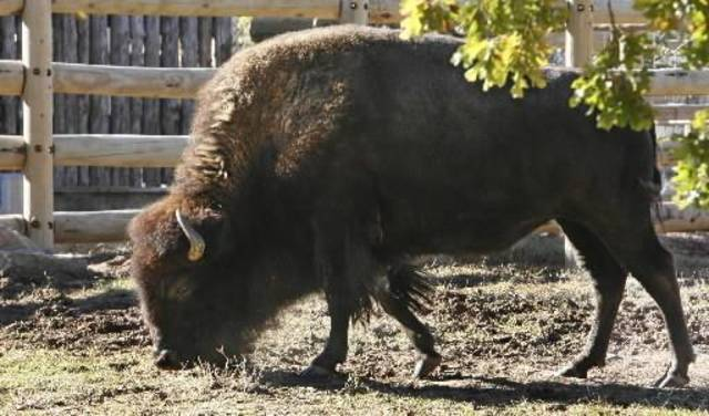 A buffalo in the  Oklahoma Trails section of the  Oklahoma City Zoo in  Oklahoma City Monday, Nov. 5, 2007. BY PAUL B. SOUTHERLAND