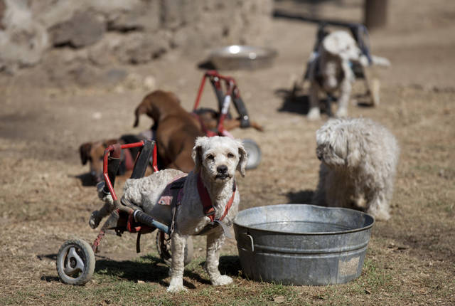 "A dog equipped with a dog wheelchair stands next to a metal pail at the ""Milagros Caninos,"" sanctuary for abused and abandoned dogs, in Mexico City, Friday, Jan. 11, 2013. About 128 abused dogs are sheltered at the Milagros Caninos sanctuary. Dogs on wheelchairs, blind, deaf or ill frolic and run around the huge sanctuary in the southern part of Mexico City. (AP Photo/Eduardo Verdugo)"