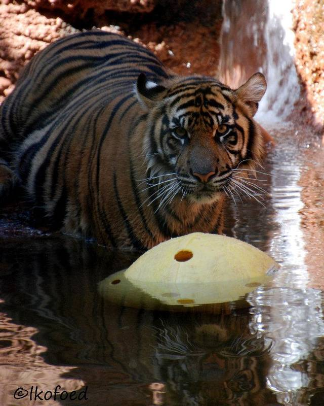 One of the zoo�s Sumatran tigers plays with a Boomer Ball in its enclosure. Boomer Balls are heavy plastic balls that are popular toys with animals such as seals and tigers. Photo PROVIDED