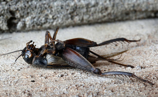 A dead cricket is seen Tuesday in Norman.  Photo by Steve Sisney, The Oklahoman <strong>STEVE SISNEY</strong>