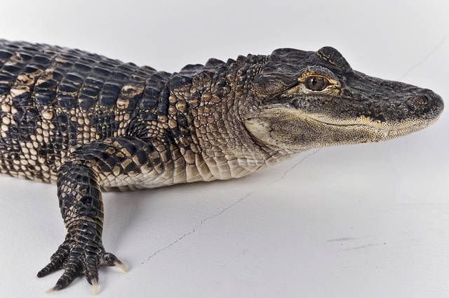American Alligator, Rocky, in the studio on a visit to the OPUBCO office from SeaWorld on Thursday, Feb. 21, 2013, in Oklahoma City, Okla. Photo by Chris Landsberger, The Oklahoman