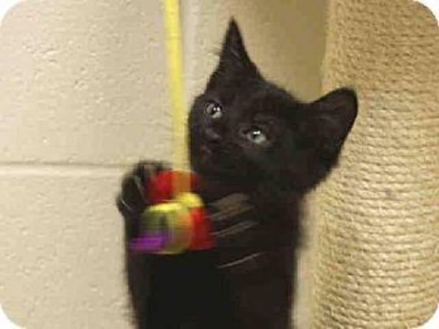 Crisco is a spunky kitten who is energetic and full of life. He is 2 months old. He is available for adoption at the Edmond Animal Welfare Shelter. PHOTOS PROVIDED BY  EDMOND ANIMAL WELFARE SHELTER