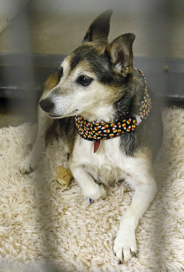Mardi Gras (#108948), an 8-year-old Jack Russell mix, is available for adoption at the Oklahoma City Animal Shelter.  Photos by Nate Billings, The Oklahoman