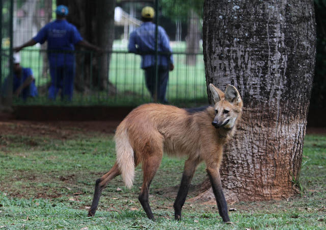 In this Nov. 13, 2012 photo, a lobo-guara, also known as a maned wolf, walks in the Jardim Zoo in Brasilia, Brazil. Brazilian researchers are turning to cloning to help fight the perilous decline of several animal species. The scientists at Brazil's Embrapa agriculture research agency said this week they have spent two years building a gene library with hundreds of samples from eight native species, including the collared anteater, the bush dog, the black lion tamarin, the coati, and deer and bison varieties, as well as the leopard and the maned wolf, according to team leader Carlos Frederico Martins. (AP Photo/Eraldo Peres)