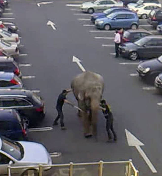 In this image taken from amateur video, showing zoo keepers trying to guide an elephant away from a coffee shop and to stop it rampaging through the streets of Dublin, Ireland, on Tuesday March 27, 2012. The 40-year old pachyderm elephant bolted from a nearby circus in southern Ireland on Tuesday, causing some alarm to customers in a coffee shop where keepers caught up with the runaway. No one was injured in the incident. (AP Photo) TV OUT
