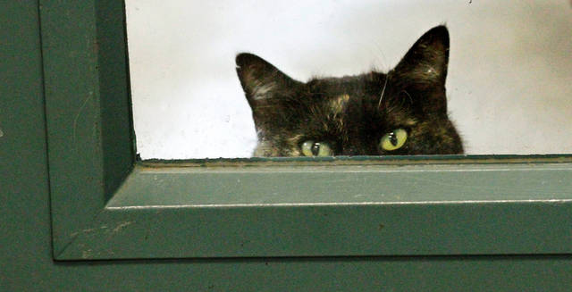 A cat peeks out from a window at the bottom of a door  in an adoption room at the animal shelter on Wednesday, Dec. 14, 2011.  The OKC Animal Shelter is having a holiday adoption special through Christmas. Cats older than six months are free, and kittens and dogs are $25.  Photo by Jim Beckel, The Oklahoman