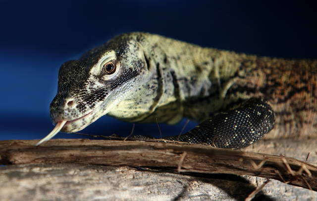 A young female Komodo dragon on display at the Oklahoma City Zoo,  August  01, 2011. Photo by Steve Gooch