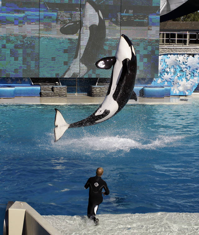 FILE - In this Thursday, Nov. 30, 2006 file photo, killer whale Kasatka leaps out of the water while an unidentified trainer gives signals during SeaWorld' Shamu show in San Diego. In an unprecedented lawsuit, People for the Ethical Treatment of Animals is accusing the SeaWorld marine parks of keeping five of its star-performer killer whales in conditions that violate the Constitution's ban on slavery. The suit, which PETA says it will file Wednesday, Oct. 26, 2011 in U.S. District Court in San Diego, hinges on the fact that the 13th Amendment, while prohibiting slavery and involuntary servitude, does not specify that only humans can be victims. (AP Photo/Chris Park)
