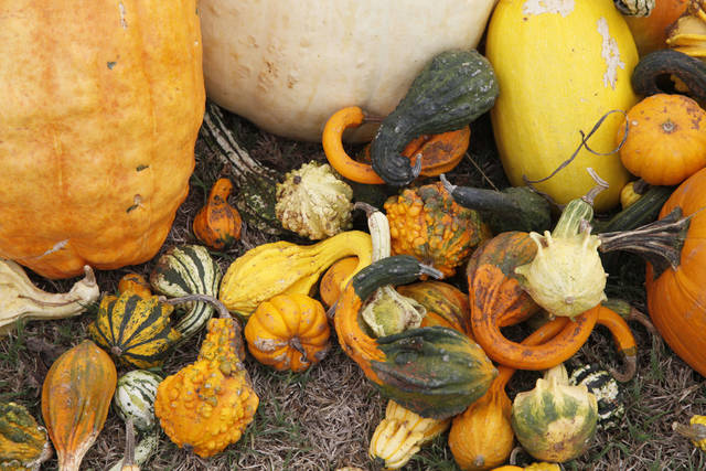 Pumpkin harvest fruitful for Chickasha farm