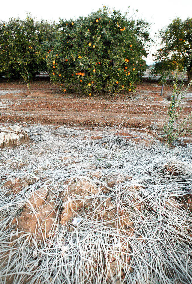 Frost in an orange grove east of Clovis, Calif., is shown Saturday after freezing temperatures. AP Photo