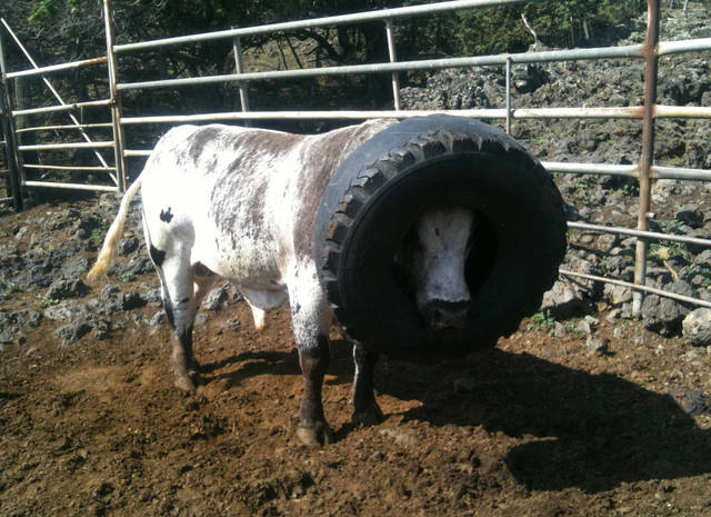 In this photo provided by the Triple L Ranch, Skywalker, a rodeo bull, is shown with a giant tire that was stuck to his head for about 20 hours in Kula, Hawaii Tuesday Nov. 8, 2011. The bull was unable to eat or drink with his head lodged in a truck tire dumped on the property. Ranch owner Paige De Ponte doesn't know how the tire ended up on Skywalker's head but she's hoping his plight raises awareness about using the rural Kenaio area as a dumping ground. (AP Photo/Triple L Ranch, Zachery De Ponte)