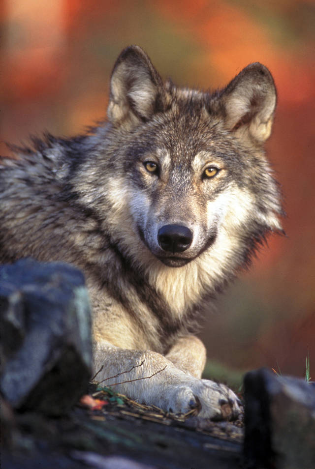 FILE - This undated photo provided by the U.S. Fish and Wildlife Service shows a gray wolf. The Obama administration proposed a new rule that would end a practice in which some endangered species were classified differently in neighboring states. (AP Photo/U.S. Fish and Wildlife Service, File)