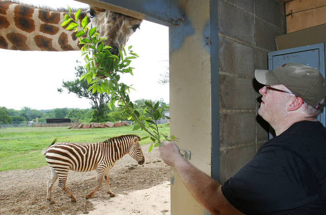 Oklahoman Staff Writer Matt Patterson feeds a giraffe as he experiences the  behind the scenes program at the Oklahoma City Zoo. Photo By David McDaniel/The Oklahoman <strong>David McDaniel - The Oklahoman</strong>