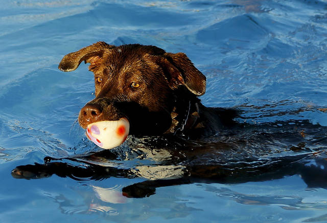 With a toy in his mouth, a dog swims to the side of the pool.  Midwest City  opened its municipal swimming pool to pet owners and their dogs Monday. PHOTO BY JIM BECKEL, THE OKLAHOMAN <strong>Jim Beckel</strong>
