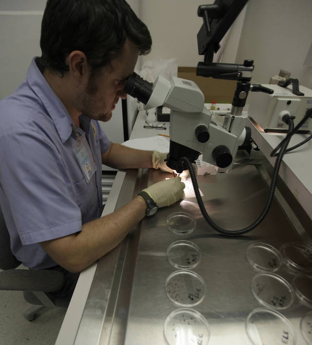 Mosquito tech Spencer Lockwood sorts mosquitoes at the Dallas County mosquito lab in Dallas. Officials say this year�s outbreak could rival those of 2002 and 2003. AP FILE PHOTO