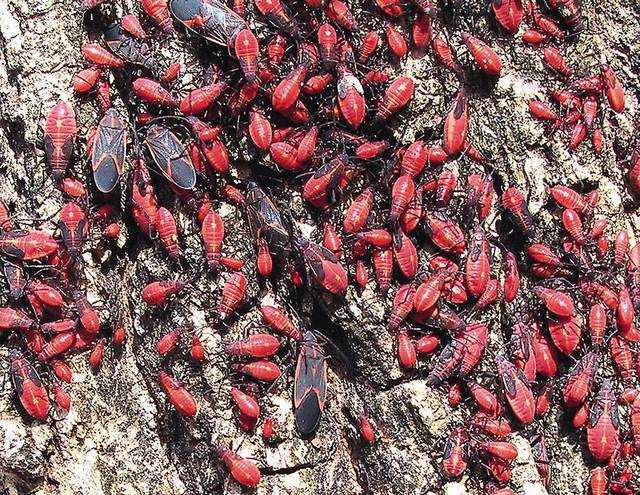 The boxelder bug is found mostly on female (seed-bearing) boxelder trees.  The Oklahoman Archives. <strong>RICK ROBINSON</strong>