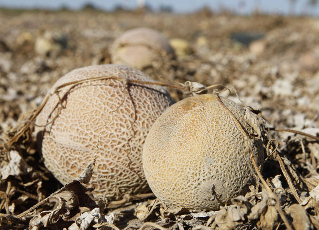 FILE - In this Sept. 28, 2011, file photo, cantaloupes rot in the afternoon heat on a field on the Jensen Farms near Holly, Colo. Pools of water on the floor and old, hard-to-clean equipment at the farm's cantaloupe-packing facility were probably to blame for the deadliest outbreak of foodborne illness in 25 years, the Food and Drug Administration said Wednesday, Oct. 19, 2011. Government investigators found positive samples of listeria bacteria on equipment in the Jensen Farms packing facility and on fruit that had been held there. (AP Photo/Ed Andrieski, File)