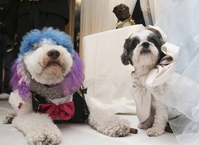 "Chilly Pasternak, left, a poodle from Richmond, Va., and Baby Hope Diamond, a Coton de Tulear from New York, sit together Thursday after their ""wedding."" AP PHOTO"
