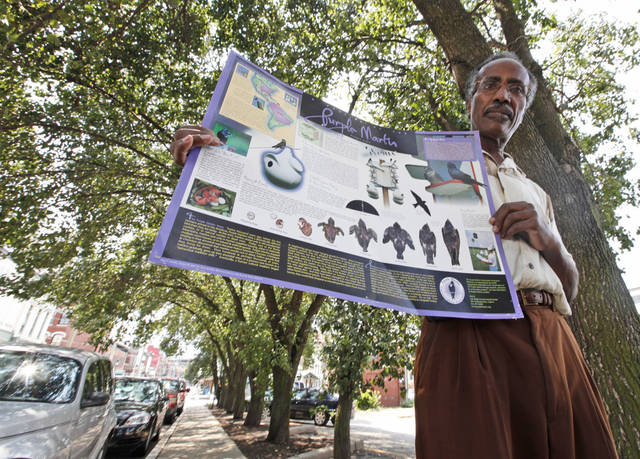 "Retired teacher and amateur birder, Adolph White, holds up a poster on purple martins under pear trees that the birds roost in Richmond, Va., Wednesday, Aug. 1, 2012. The birds once scorned for the droppings they leave, the tens of thousands of purple martins that check in each night in a small row of pear trees and are now celebrated with their own festival called ""Gone to the Birds."" ( AP Photo/Steve Helber)"