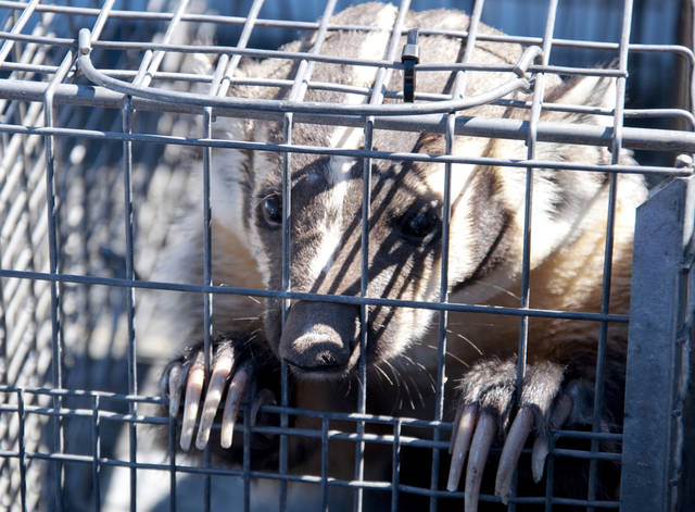 This Aug. 7, 2012 image provided by the Nevada Department of Wildlife shows a a captured badger who wandered through an open door into a bottled water store in Sparks, Nev. Officials with the Nevada Department of Wildlife and Washoe County animal services officers were able to lure it into a cage with cat food. No one was hurt at the Fresca Waterstore, and the animal later was released into the wild on Peavine Mountain north of Reno. (AP Photo/Nevada Department of Wildlife, Aaron Meyer)
