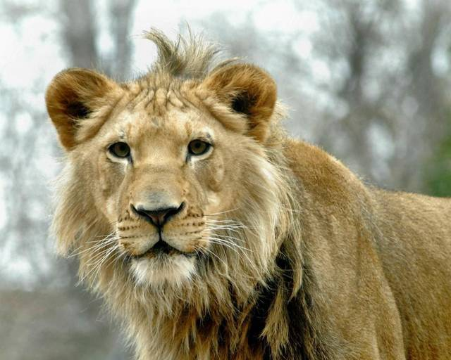 Hubert, a 19-month-old African lion, arrived at the zoo in November. He recently came out of quarantine and has been slowly integrated into his new surroundings. Photo provided