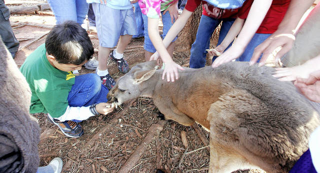 "Junior Zookeeper Virgil Hope, 11, of Pauls Valley feeds a piece of bread to ""Jackson,"" a blind red kangaroo at Little River Zoo.   Oklahoman archive pHOTO BY JACONNA AGUIRRE"