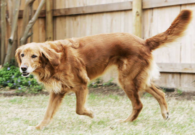 Sissy, a golden retriever, was given up after her family hit hard times. BY JACONNA AGUIRRE, THE OKLAHOMAN