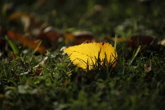 A fall leaf lays on the grass in Edmond, Okla., Saturday, Nov. 10, 2012.  Photo by Garett Fisbeck, The Oklahoman
