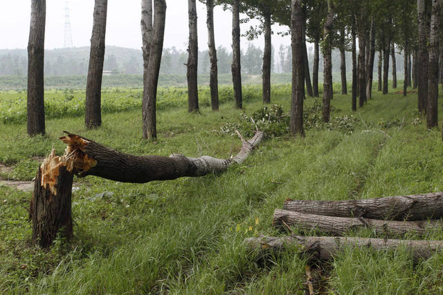 A fallen tree lies in Pyongyang's Sunan District in North Korea, on Wednesday, Aug. 29, 2012 after a typhoon hit the area. A second typhoon in less than a week is approaching North Korea, threatening more rain in a country where storms often mean catastrophe because of deforestation and fragile infrastructure. (AP Photo/Kim Kwang Hyon)