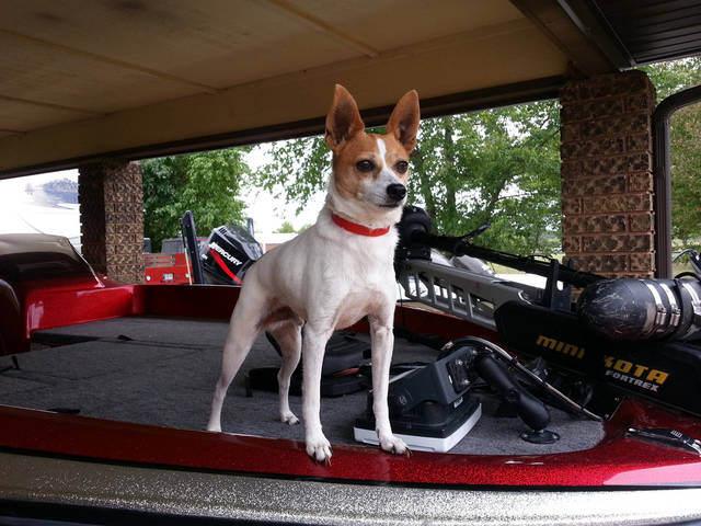 Milo, a Jack Russell terrier that was in a vehicle when it crashed and killed two people near Lake Eufaula, went missing after the wreck. Photo provided