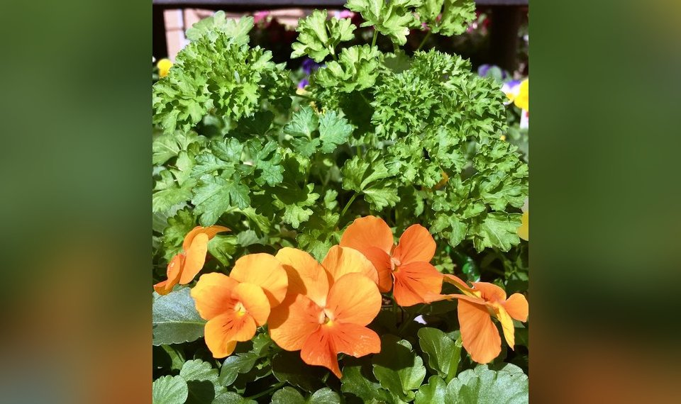 All Flowers Including These Orange Pansies Just Seem To Show Out More When Combined