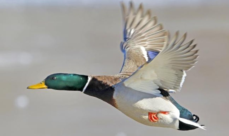 Outdoors: Are ducks becoming a bunch of wise guys?