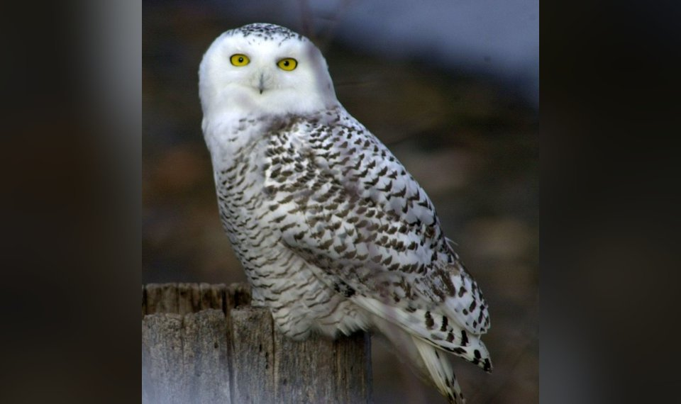 Arctic Life Arrives In Oklahoma With Snowy Owls