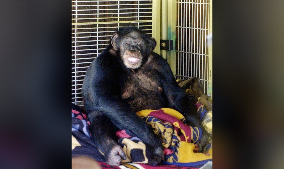 Chimp owner begs police in 911 call to stop attack