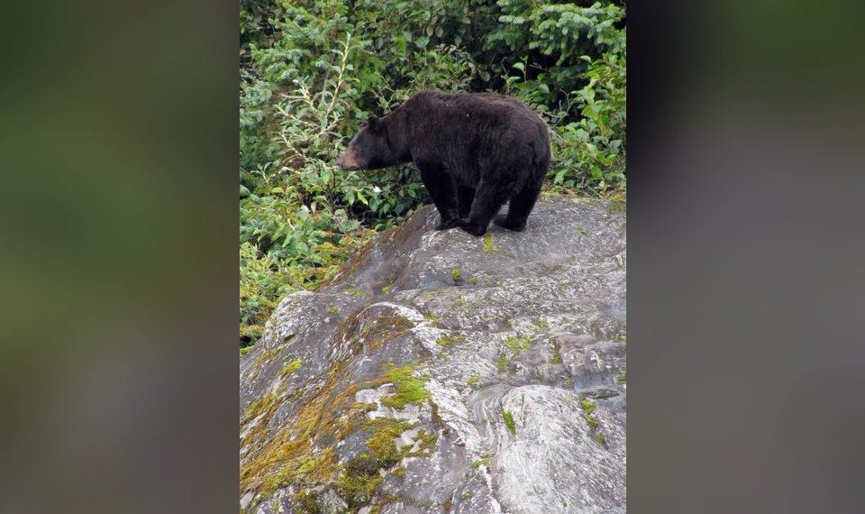 Black bear hunting to be allowed in more southeastern Oklahoma counties this fall